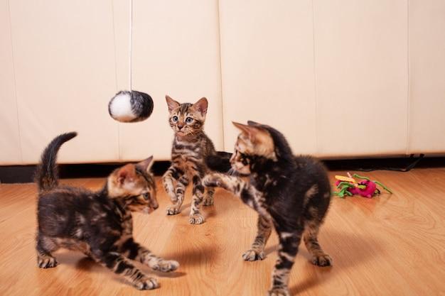 茶色の小さなベンガルヤマネガの子猫がアパートで遊ぶ