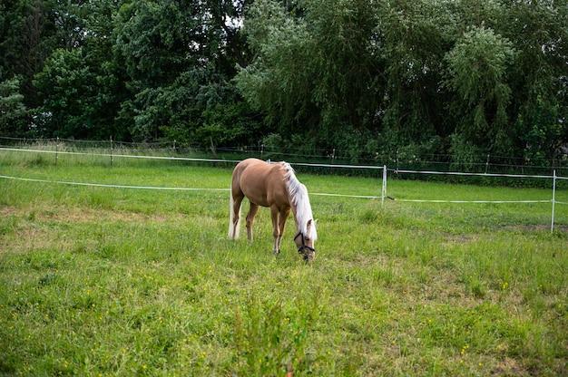 昼間の日光の下で野原で放牧している白い髪の茶色のたてがみ