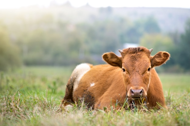 Коричневая молочная корова, пасущаяся на зеленой траве на лугах фермы.