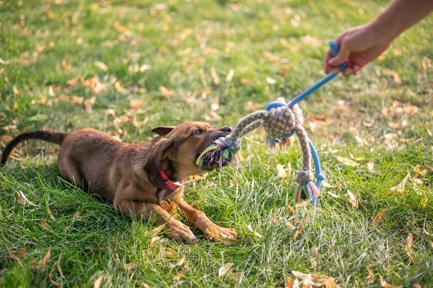 사랑스러운 여름날 동안 거대한 정원에서 장난감을 가지고 노는 브라운 혼합 강아지