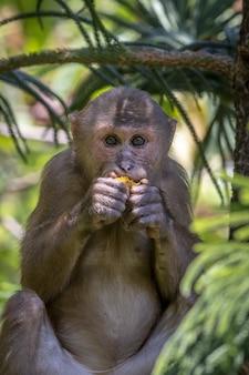 茶色の猿が木の上に座ってバナナを食べる