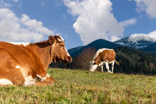 夏に牧草地で放牧している茶色の山牛。農業の概念