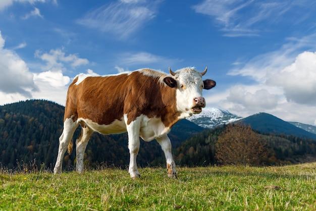 夏に牧草地で放牧している茶色の山牛