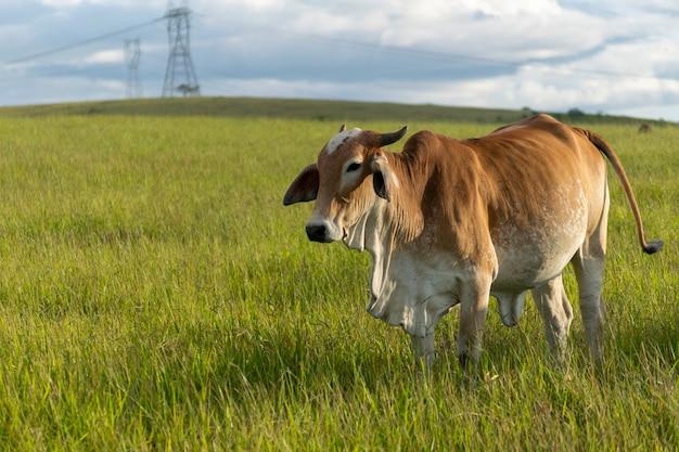 농장 목장에서 갈색 nellore 소