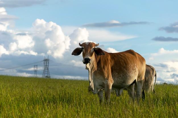 農場の牧草地にいる茶色のネロール牛