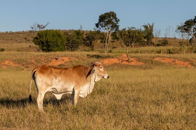 牧草地の側面図の茶色のネロール牛