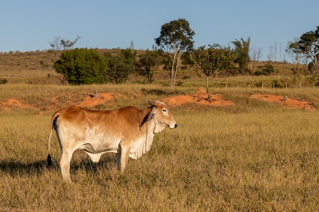 Brown nelore cattle in the pasture side view