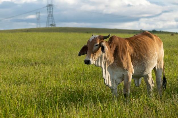 ブラウンネロール牛
