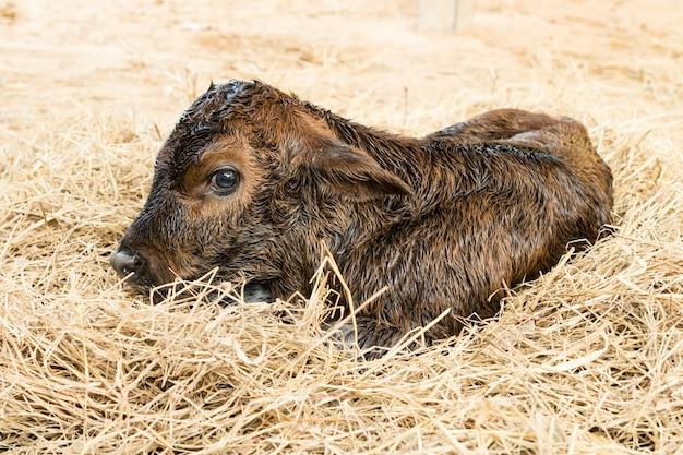 Brown newborn calf lying on staw