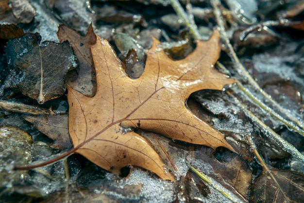 Brown oak leaf covered with ice after freezing rain, beautiful winter background, winter frost