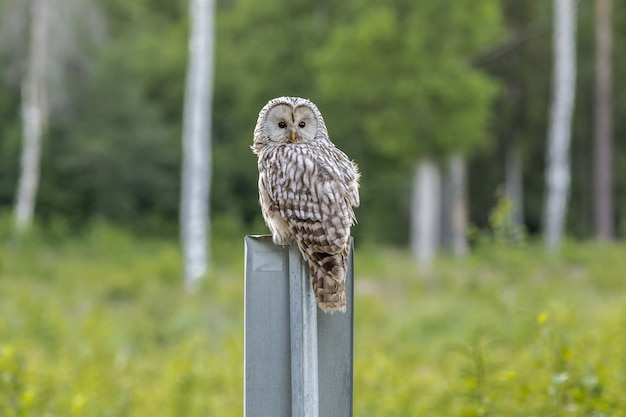 Brown owl sitting on gray post