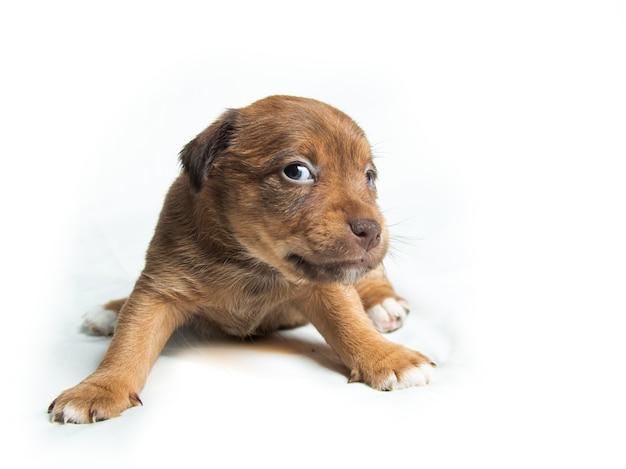 흰색 배경 앞의 브라운 파슨 러셀 테리어 강아지