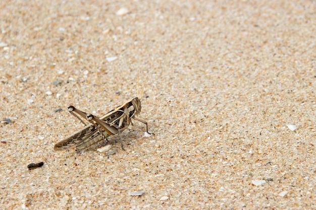 砂浜の茶色のパタンカ・メタル