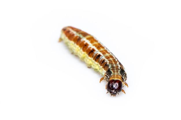 갈색 패턴 유 충 절연입니다. 동물. 곤충.