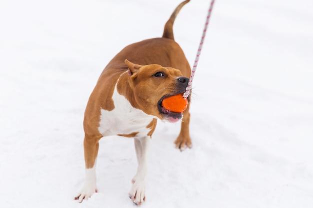 Собака родословной брайна играя с оранжевым шариком в снеге в лесе. стаффордширский терьер