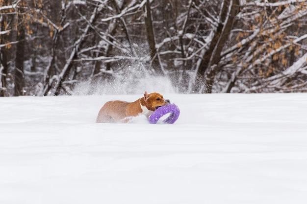 Коричневый родословная собака играет с круглой игрушкой в снегу в лесу. стаффордширский терьер