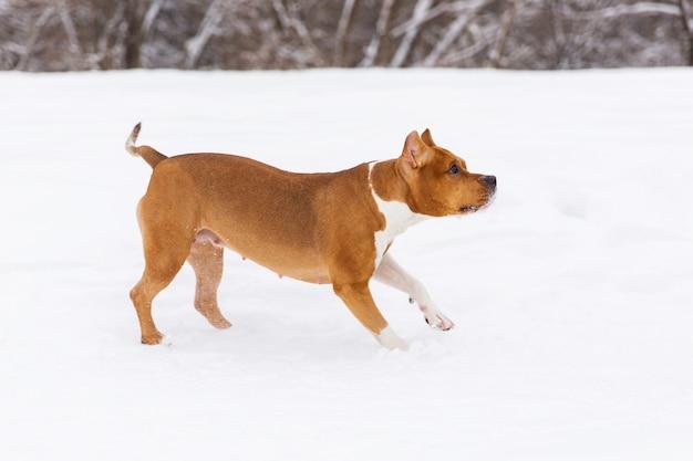 Коричневый родословная собака работает на снегу в лесу. стаффордширский терьер