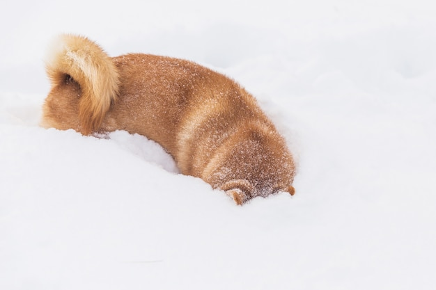 Brown pedigreed dog playing with snow on a field. shiba inu. beautiful dog
