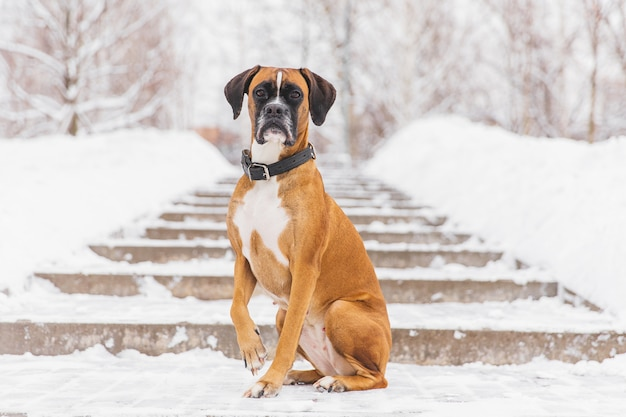 Brown pedigreed dog sitting on the snowy road. boxer