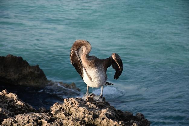 Коричневый пеликан кусает перья на груди.