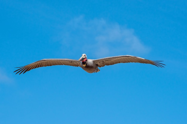Brown pelican in flight with a bright blue sky and a cloud as background