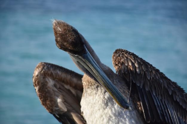 Коричневый пеликан с пером в клюве.