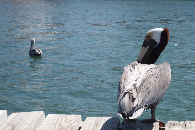Brown pelican!