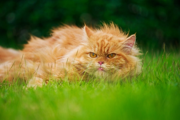 Brown persian cat with tongue out on the grass field
