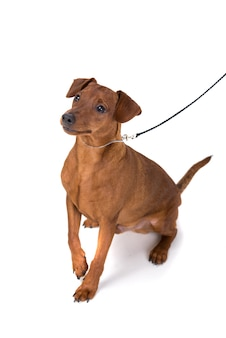 Brown pinscher on leash isolated