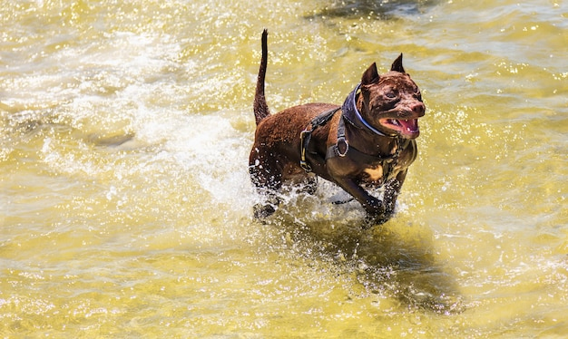 Brown pitbull dog running in the water