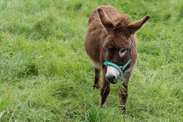 Brown poitou donkey