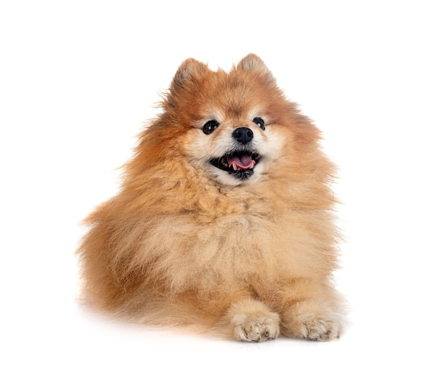 Brown pomeranian in front of white background