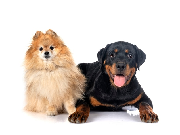 Brown pomeranian and rottweiler in front of white background