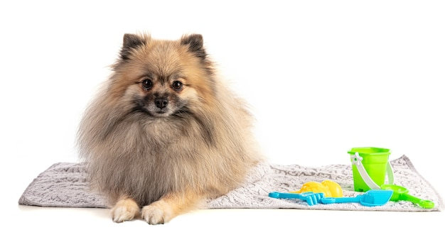 Brown pomeranian sheepdog on a beach towel on a white background