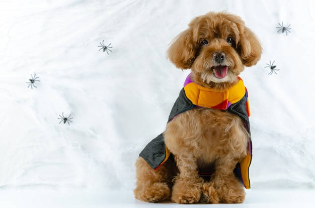 Brown poodle dog with spiders cobweb.
