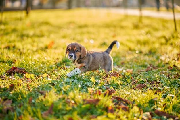 公園を歩いて遊んでいる茶色の子犬。