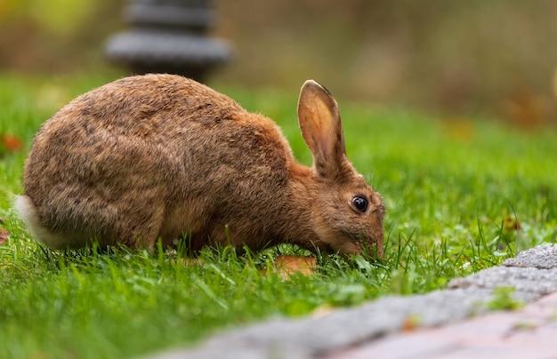 Коричневый кролик ест траву на зеленой лужайке в парке.