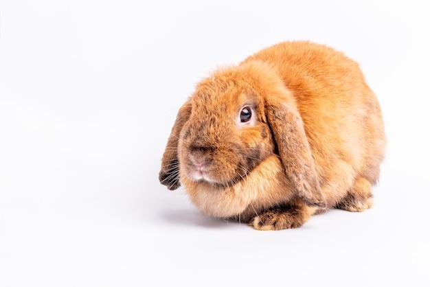白の茶色のウサギ