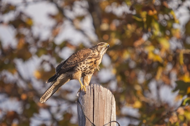 Brown red-tailed hawk perched on a tree log with a blurred wall