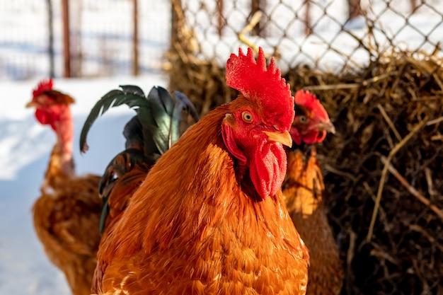 농장 마당에서 겨울에 갈색 수탉과 닭