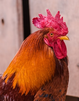 Brown rooster head portrait