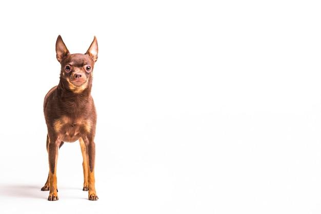 Коричневый русский игрушка собака, изолированных на белом фоне