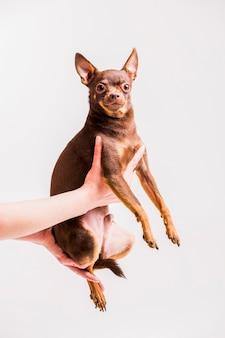 Коричневый русский игрушечный собака, сидящий на руке