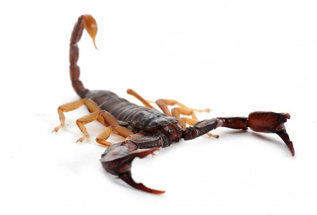 Коричневый скорпион на белом фоне