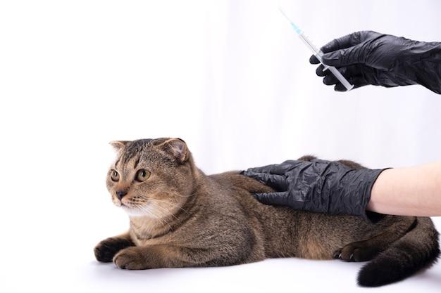 Коричневая шотландская вислоухая кошка, взявшись за руки в медицинских перчатках. шприц в одной руке. концепция ветеринарии, вакцинации, здоровья домашних животных.