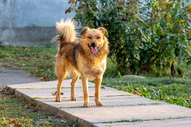 Коричневая лохматая собака в саду возле куста роз