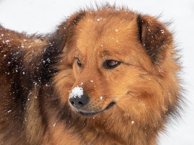 白い背景の上の冬の雪の中で茶色の毛むくじゃらの犬