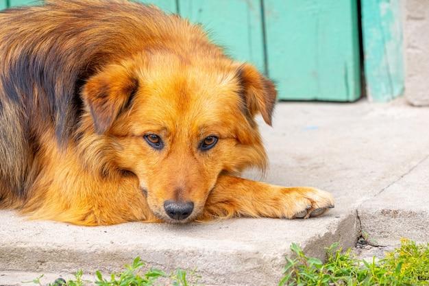 茶色の毛むくじゃらの犬は太陽の下に横たわって退屈しています