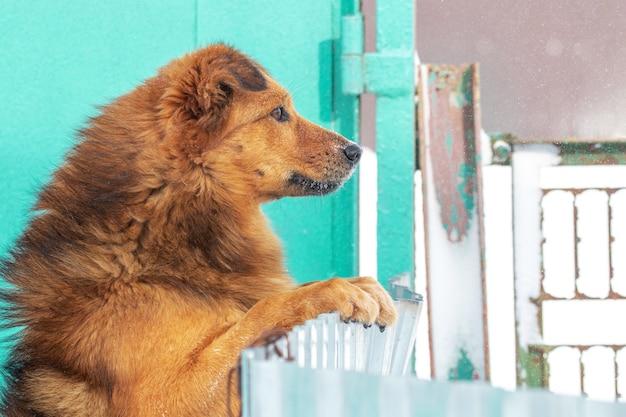 茶色の毛むくじゃらの犬が後ろ足で立ち、柵の後ろから外を見る