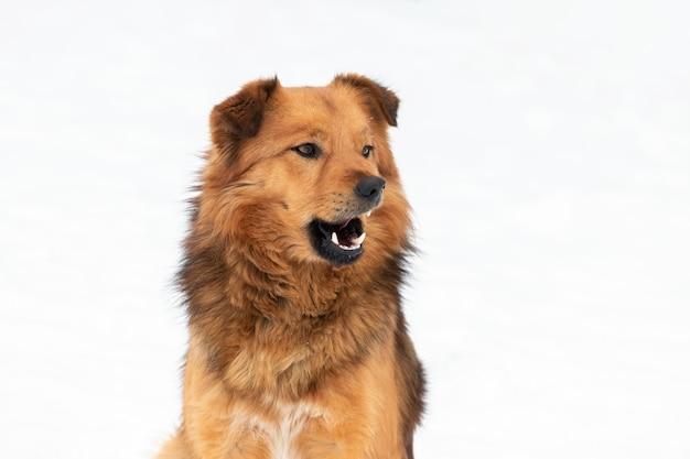 白い背景の上の冬の口を開けて茶色の毛むくじゃらの犬。面白い動物